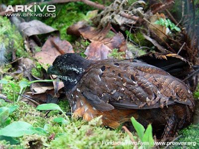 Gorgeted Wood-quail