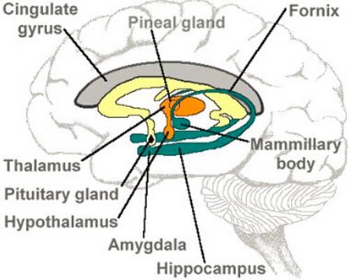 Hippocampus - Definition, Amygdala And Hippocampus ...