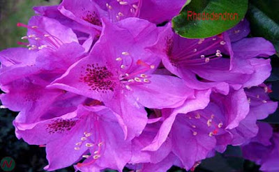 rhododendron flower, rhododendron