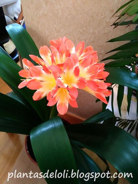 Clivia, flor