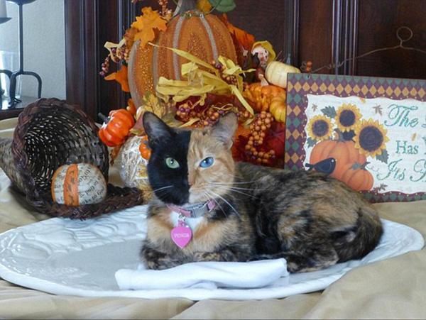 Cô mèo xấu lạ nổi tiếng với khuôn mặt hai màu lông và hai màu mắt khác nhau
