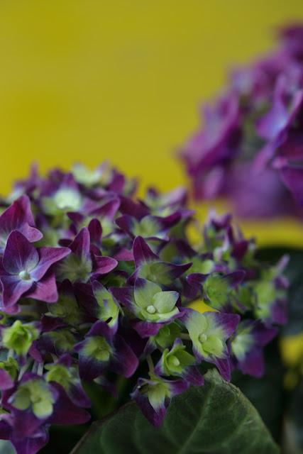 makrotex, violetti, hortenssia