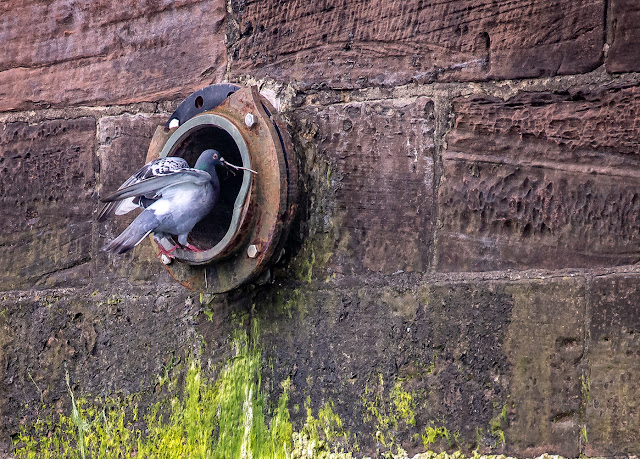 Photo of a pigeon taking nesting material into the hole