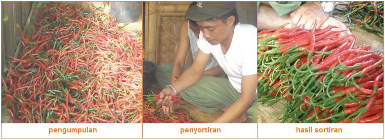 Pascapanen - Tahapan-Tahapan Budi Daya Tanaman Sayuran dan Contohnya
