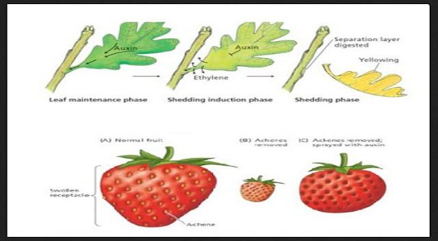Hormon Tumbuhan : Pengertian, Ciri-Ciri Serta Fungsinya Masing-Masing