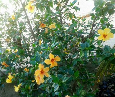 Meu pé de hibisco amarelo e o colete floral que fiz reaproveitando uma camisa antiga