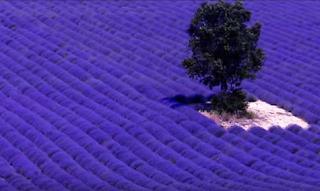 Καλλιέργεια λεβάντας: Και αφήστε την φαντασία σας να ταξιδέψει