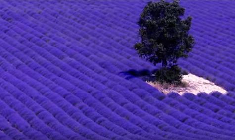 Καλλιέργεια λεβάντας: Αφήστε την φαντασία σας να ταξιδέψει ...VIDEO