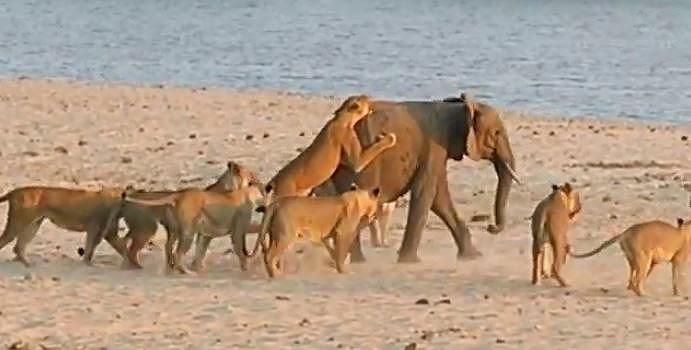 Un éléphanteau repousse une attaque de 14 lionnes.