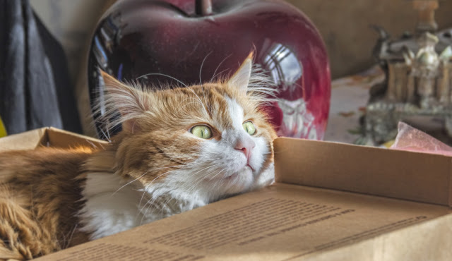 Beautiful, dreamy ginger and white cat in a box