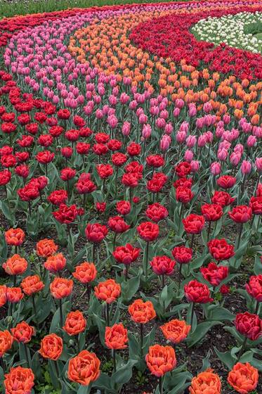 Tulipanes en Skagit Valley. Tulipa Orange Princess; Red Princess; Pretty Princess; Princess Irene; Rococo y Finola.
