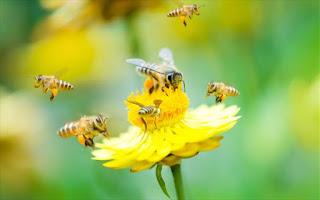 Οι μέλισσες εθίζονται στα φυτοφάρμακα όπως οι άνθρωποι στα τσιγάρα