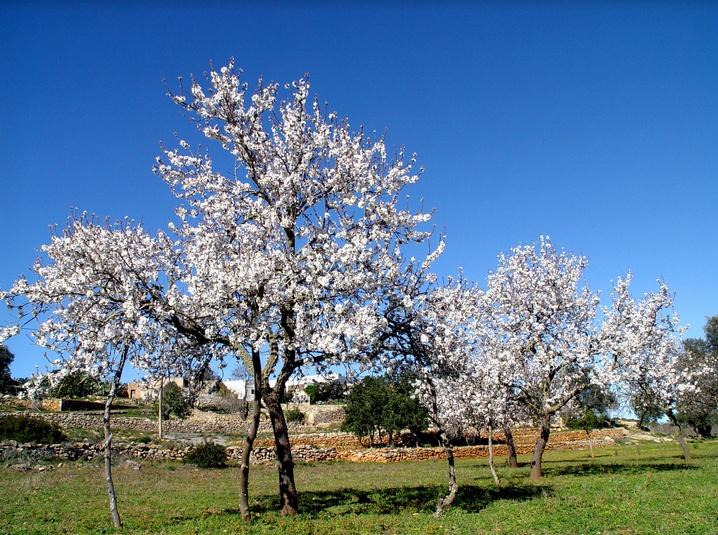 Maiorca e Ibiza in Fiore: il fascino delle isole Baleari in un insolito anticipo di Primavera