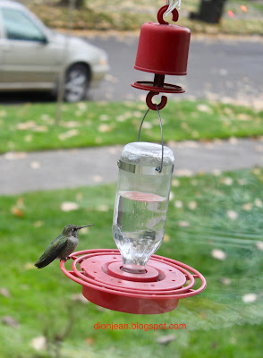 Small female Anna's hummingbird