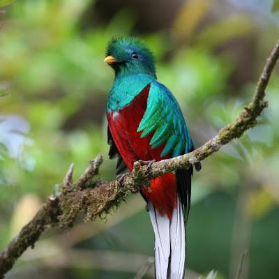 burung quetzal