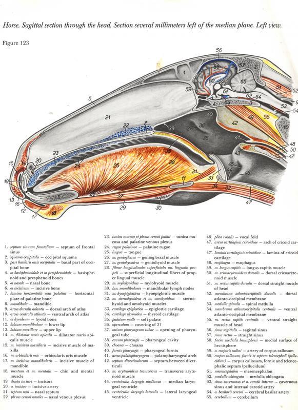 horse-cavalo-skull-anatomy-anatomia-cranio-maxilar-sinusal-sinuses-vetarq-muscle-musculatura-bone-osso-veias-arterias