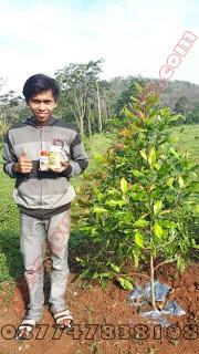 pupuk organik cengkeh, pupuk cengkeh, pupuk buah cengkeh, tanaman cengkeh, pemupukan cengkeh, cara merawat cengkeh