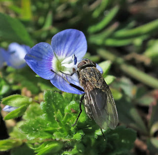 Cluster Fly (Pollenia) on speedwell flower.