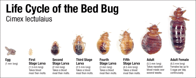 Life-cycle-image-picture-of-bed-bugs