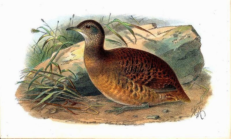 Bartlett´s Tinamou