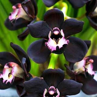 Gambar Bunga Anggrek Hitam (Black Orchid Flowers) 2000