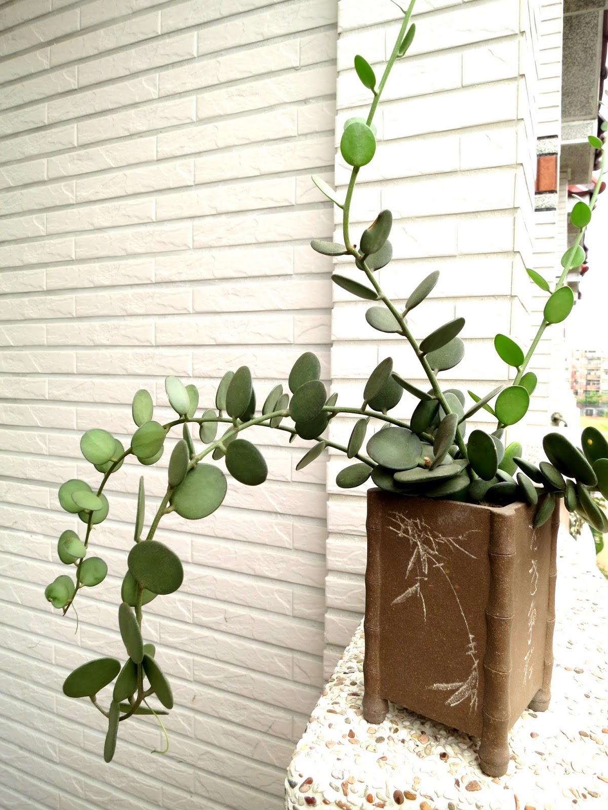 Succulents-lover 阿多肉: 我的葫蘆科圖鑑
