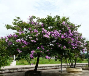 Pohon bungur tanaman peneduh