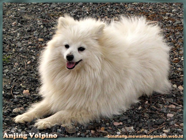 Gambar Anjing Volpino