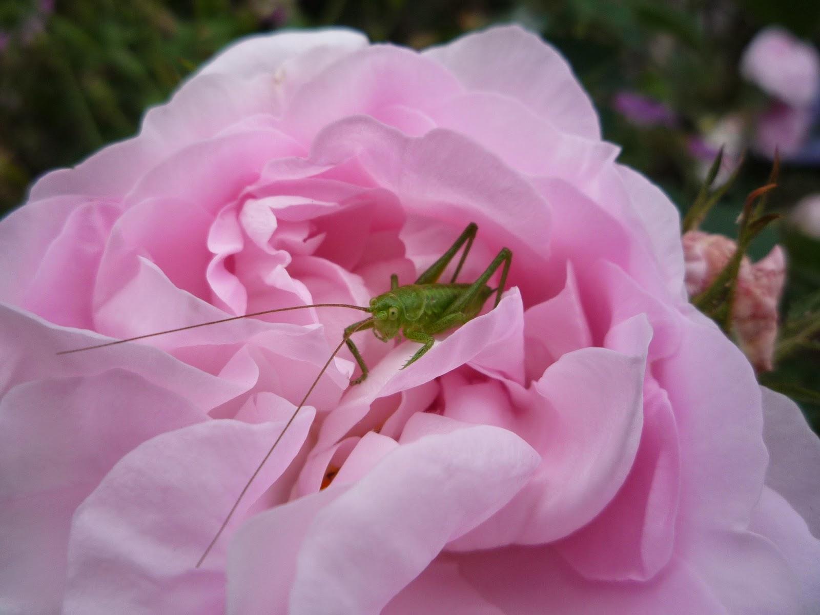 Cuisse de nymphe rose with bush cricket