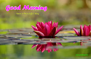 water lily morning wishes image