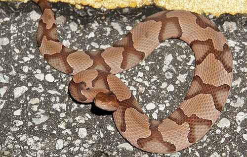 allaboutsnakes: COPPERHEAD
