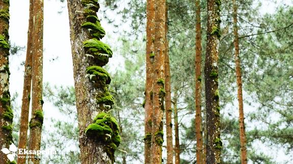 Pohon Pinus Magelang