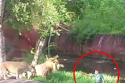 Pria Mabuk Masuk ke Kandang Singa, Ini yang Terjadi?