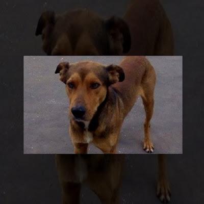 Cão de rua resgatado por moradores de Cajobi é ameaçado de morte; Ajude