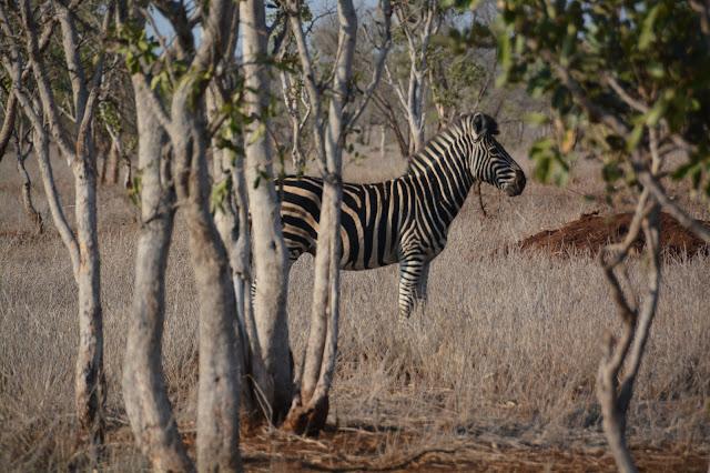 Singita Sweni Africa hotel resort Kruger National Park zebra