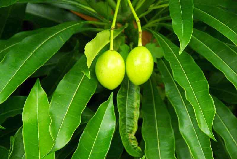 tree, poisonous,leaves,fruits
