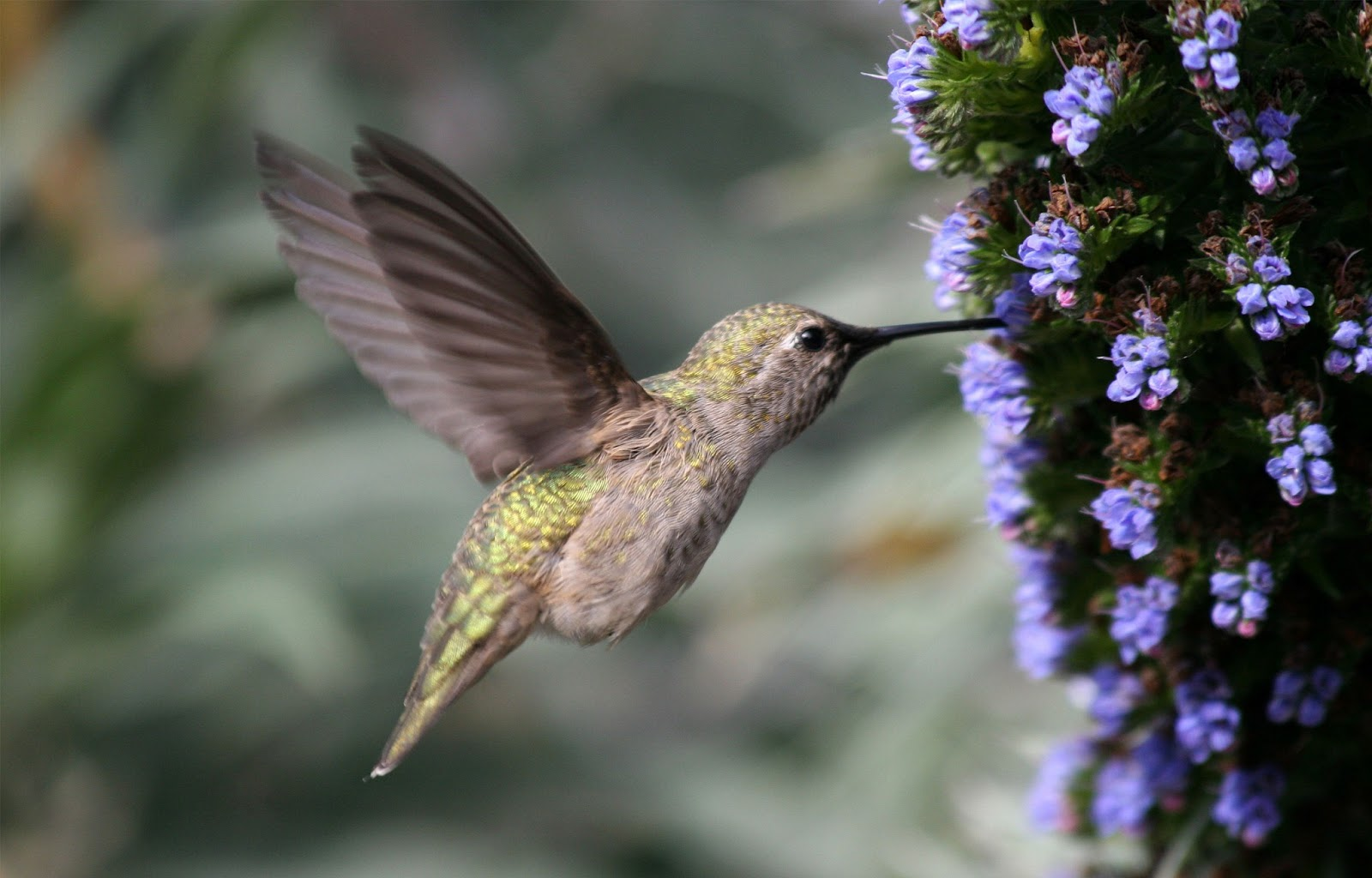 Download Free Hummingbird Wallpapers: Hummingbird HD Wallpapers