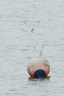 Little Tern, Lorong Halus