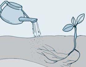 Hidrotropisme positif, di mana akar biji-bijian tumbuh mengarah ke tempat yang basah/berair.