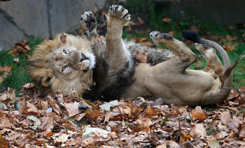 Азиатский лев качается в листьях