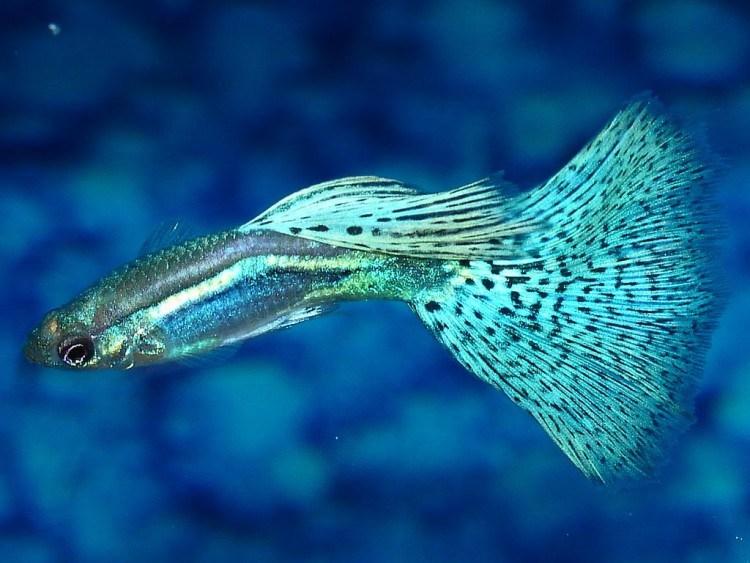 36 Jenis Ikan Hias Guppy Populer Alam Ikan