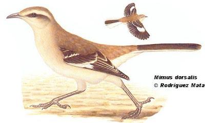 Calandria castaña Mimus dorsalis
