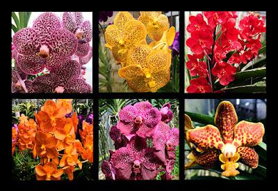 Seleção de orquídeas Vandas