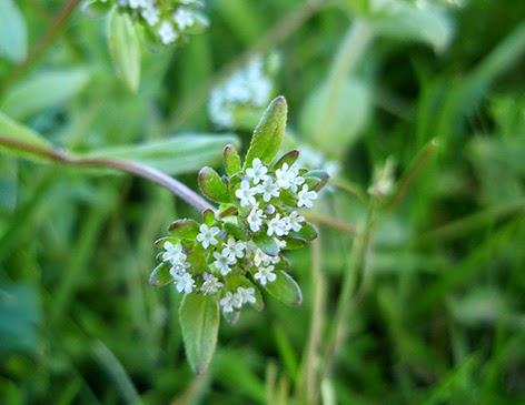 Canónigo (Valerianella locusta)flor silvestre blanca