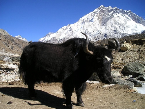 Yaks have been equipped by their Creator to adapt to the harsh conditions at the top of the world.