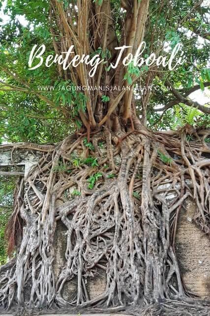 akar pohon tua yang nemplok di dinding benteng toboali