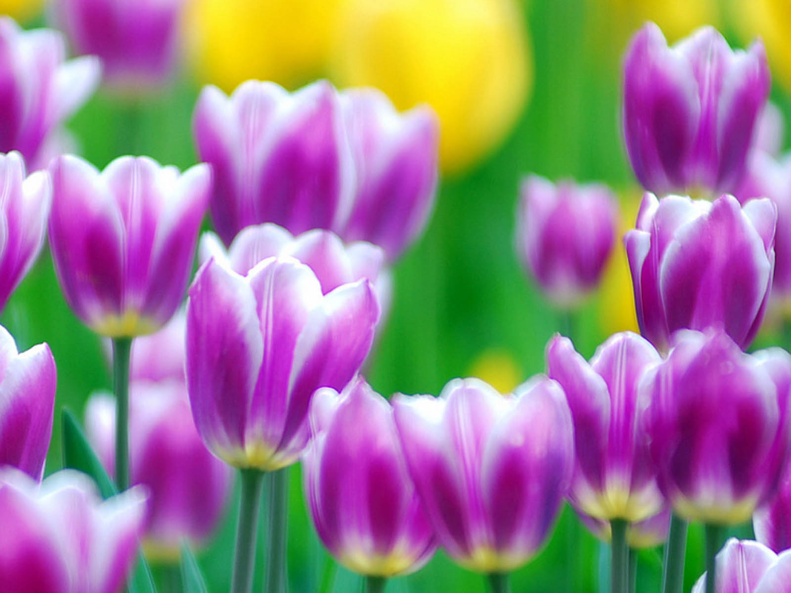 Wallpapers: Purple Tulips Flowers Wallpapers