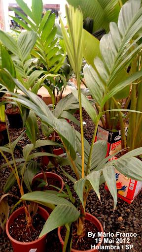 Palmeira Pinanga