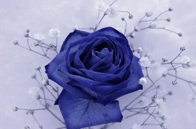 gambar bunga mawar biru yang memikat