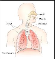 Diaphragm (diafragma)